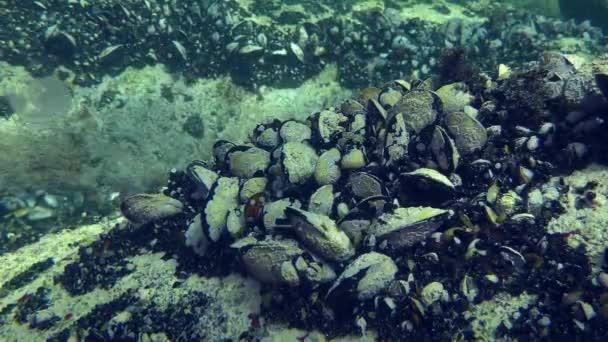 Muschelkolonie (mytilus sp.) mit Muscheln, die von Bewuchs bedeckt sind.