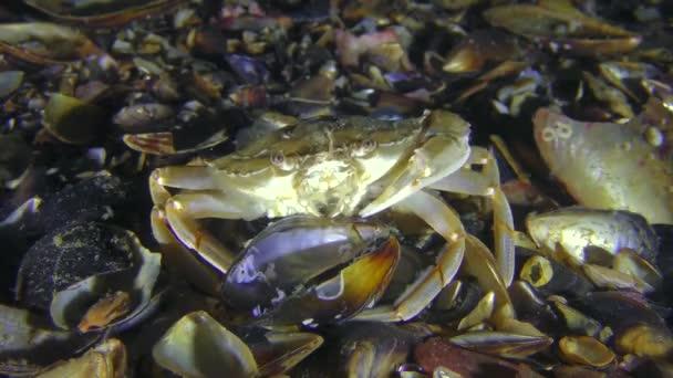 Schwimmkrabbe zieht Fleisch aus Muschelschale.