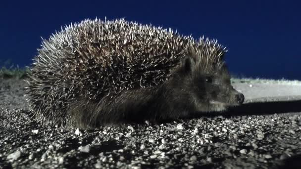 The hedgehog is walking away on the background of twilight.