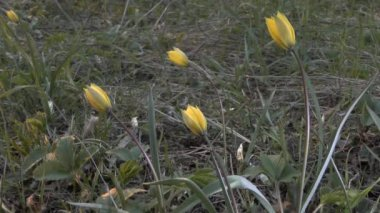 Spring: a group of flowering wild tulips.