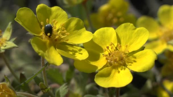 Spring yellow flowers of the steppe plant potentilla stock video spring yellow flowers of the steppe plant potentilla stock video mightylinksfo