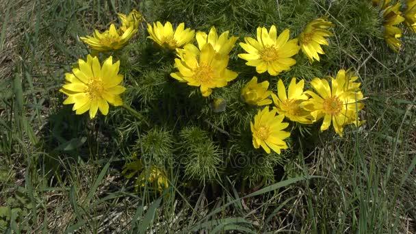 Spring a blooming bush of yellow pheasants eye stock video spring a blooming bush of yellow pheasants eye stock video mightylinksfo