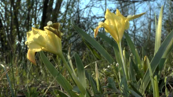 Spring: a blooming iris of yellow color.