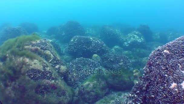 Unterwasserlandschaft: mit Muscheln und Algen bedeckte Steine in blauem Wasser.
