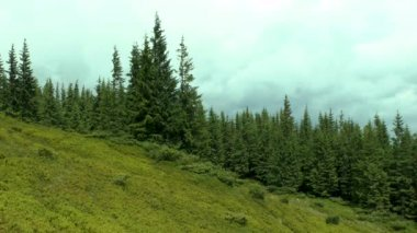 Fir forest on a mountain slope with shadows of clouds.