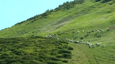 Herd of sheep rises to a slope covered with green grass.