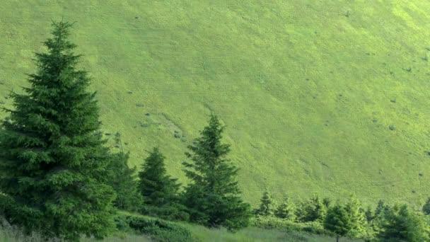 Několik stromů jedle na pozadí zelených horském svahu.
