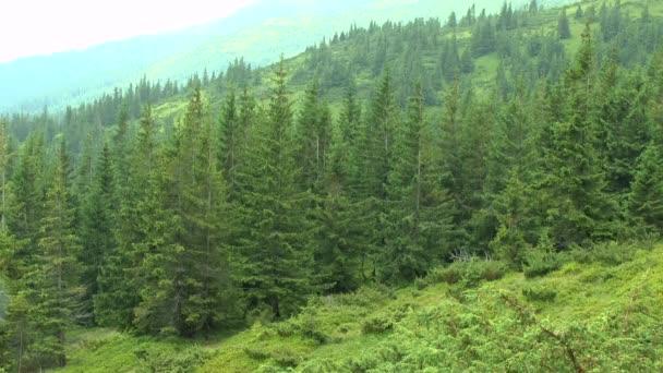 Regen in den Bergen: Die Tropfen fliegen gegen den Fichtenwald.