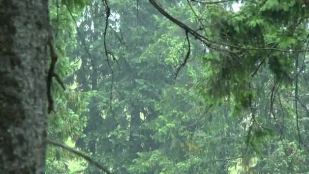 Rain in the forest: streams of rain fall against the background of spruce.