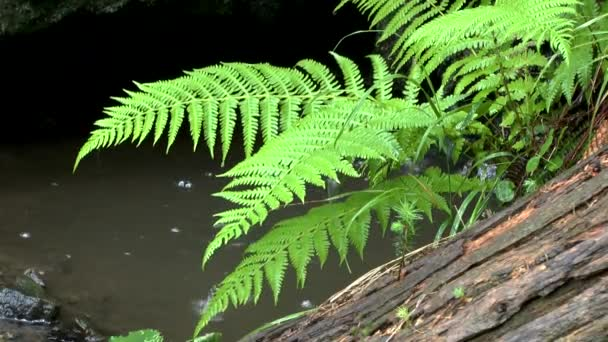 Rain in the forest: the fern leaves hang over the creek, close-up.
