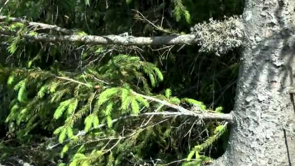 Spruce forest: large trunk of spruce with lichen on a branch.