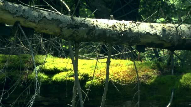Wald erhalten: gefallen Baumstämme mit grünem Moos bedeckt