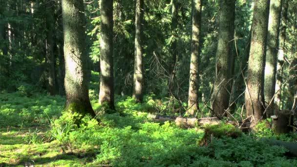 Coniferous forest: the suns rays illuminate tree trunks.