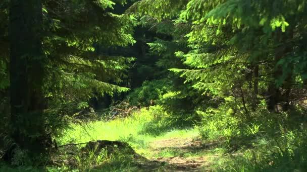 Smrk lesní: propast mezi stromy.