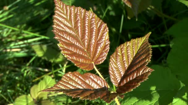 Forest plants: a young leaf of a blackberry reddish color.
