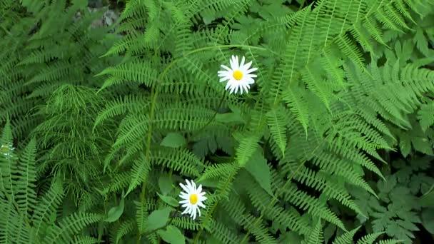 Lesní rostliny: květiny Kopretina bílá proti listy kapradí