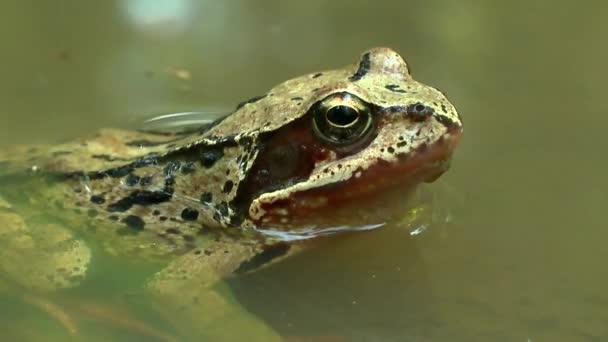 Europäischer gemeiner Frosch blitzt gleichzeitig mit zwei Augen auf.