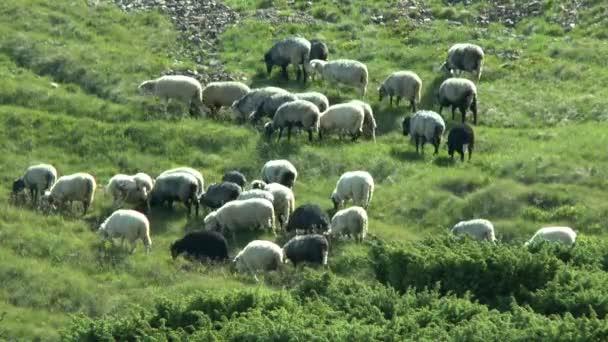 Stádo ovcí, zvoní zvony, se tyčí na horském svahu