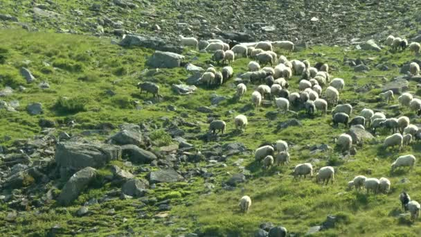 A herd of sheep climbs the mountain slope among the stones.
