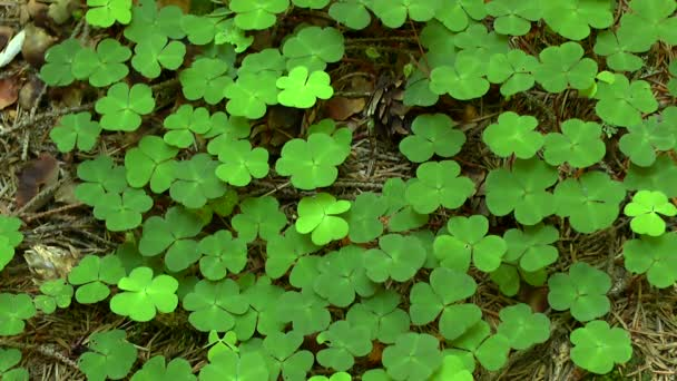 Forest: the leaves of the Common wood sorrel form a entire cover.
