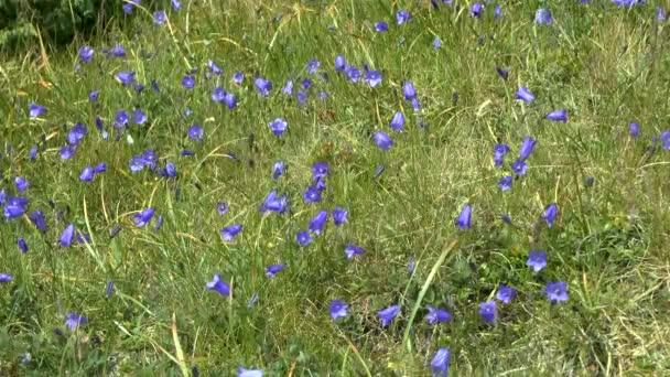 Carpathian bellflower (Campanula carpatica).