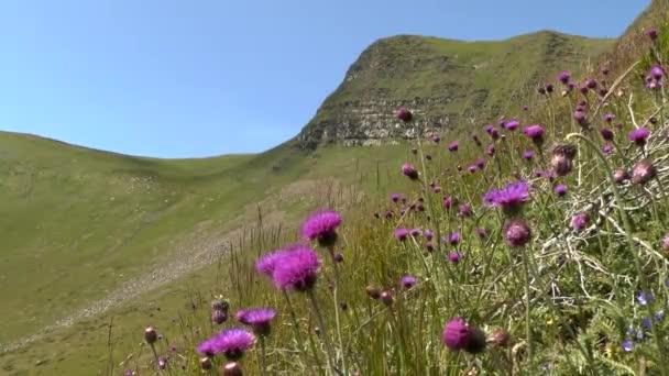Kvetoucí rostliny z bodláku (Círsium sp.) proti horského svahu