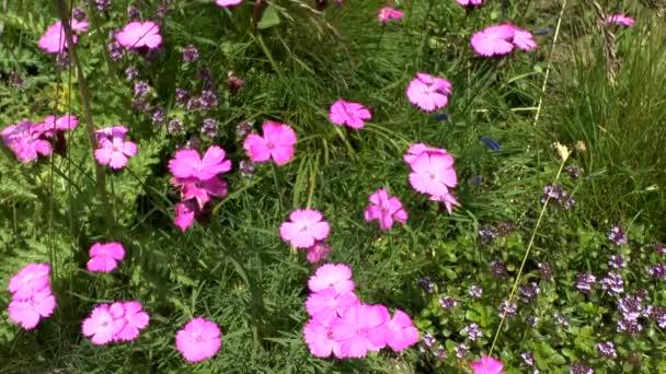 Kvetoucí rostliny růžové (Dianthus sp.), průměrný střelec