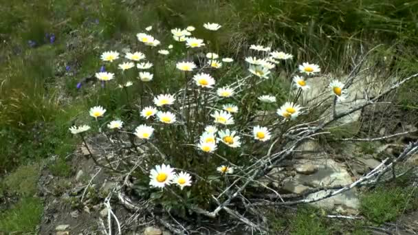 Flowering plant of Chamomile, wide shot.