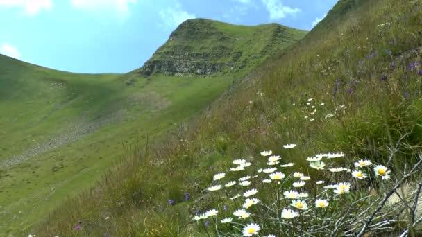 Kvetoucí rostliny heřmánek na pozadí horského svahu