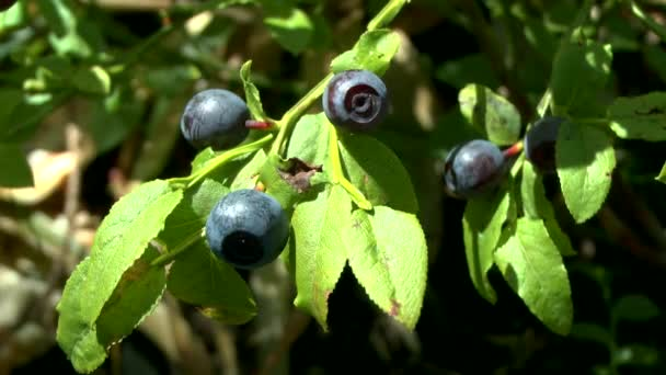 Forest: ripened berries Blueberry (Vaccinium sp.), close-up.