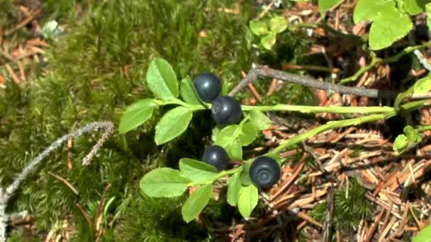 Forest: plant Blueberry (Vaccinium sp.) with ripe berries, medium shot.