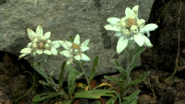Group of plants edelweiss (Leontopodium nivale) covered with dew.