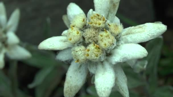 Flower of edelweiss (Leontopodium nivale), close-up.