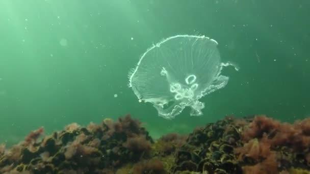 Common jellyfish (Aurelia aurita).