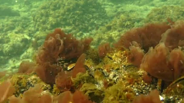 The thickets of Red algae (Porphyra sp.) swing by waves.