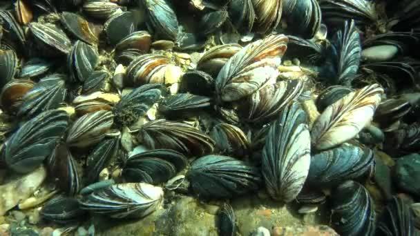 Muschelbesiedlung (mytilus sp.) in flachen Gewässern in den Sonnenstrahlen.