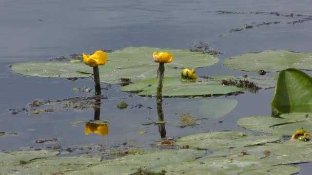 Yellow Water-lily or yellow pondlily (Nuphar lutea).