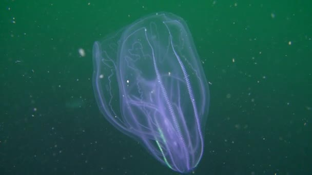 Ctenophora Warty comb jelly (Mnemiopsis leidyi).