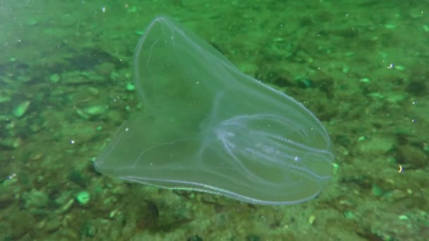 Ctenophora American comb jelly (Mnemiopsis leidyi).