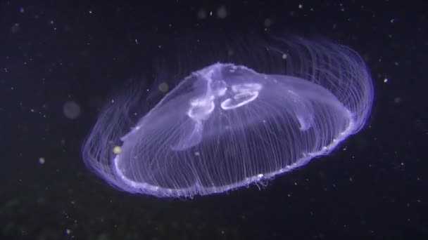 Common jellyfish (Aurelia aurita) on a dark background.