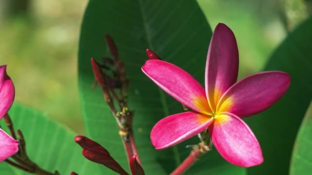 Bright pink petals and stems of blossom plumeria flower. Close up footage