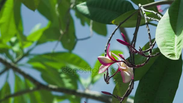 Petals and stems of pink blossom plumeria flower moving by the wind. Green leaves swinging in the background