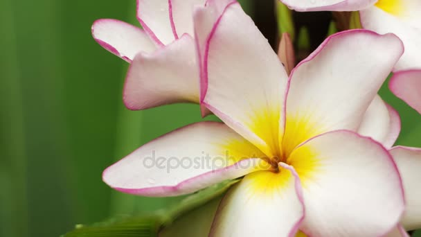 Close up of lilac frangipani or plumeria flower with some drops after tropical rain, shallow depth of field