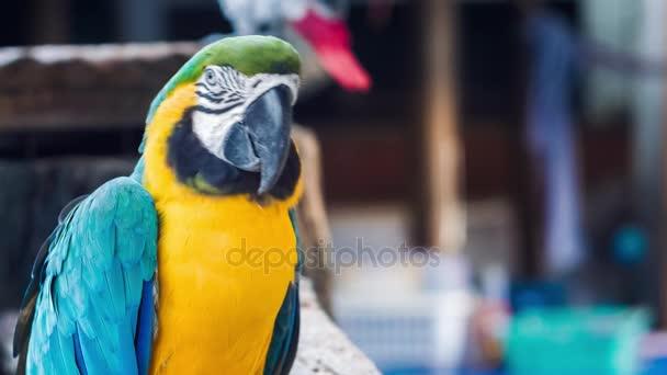 Blue yellow golden macaw parrot. Ara ararauna