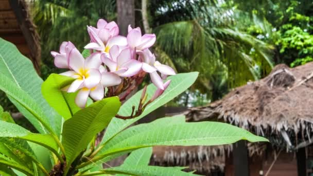 Branch of lilac plumeria flowers just after tropical rain