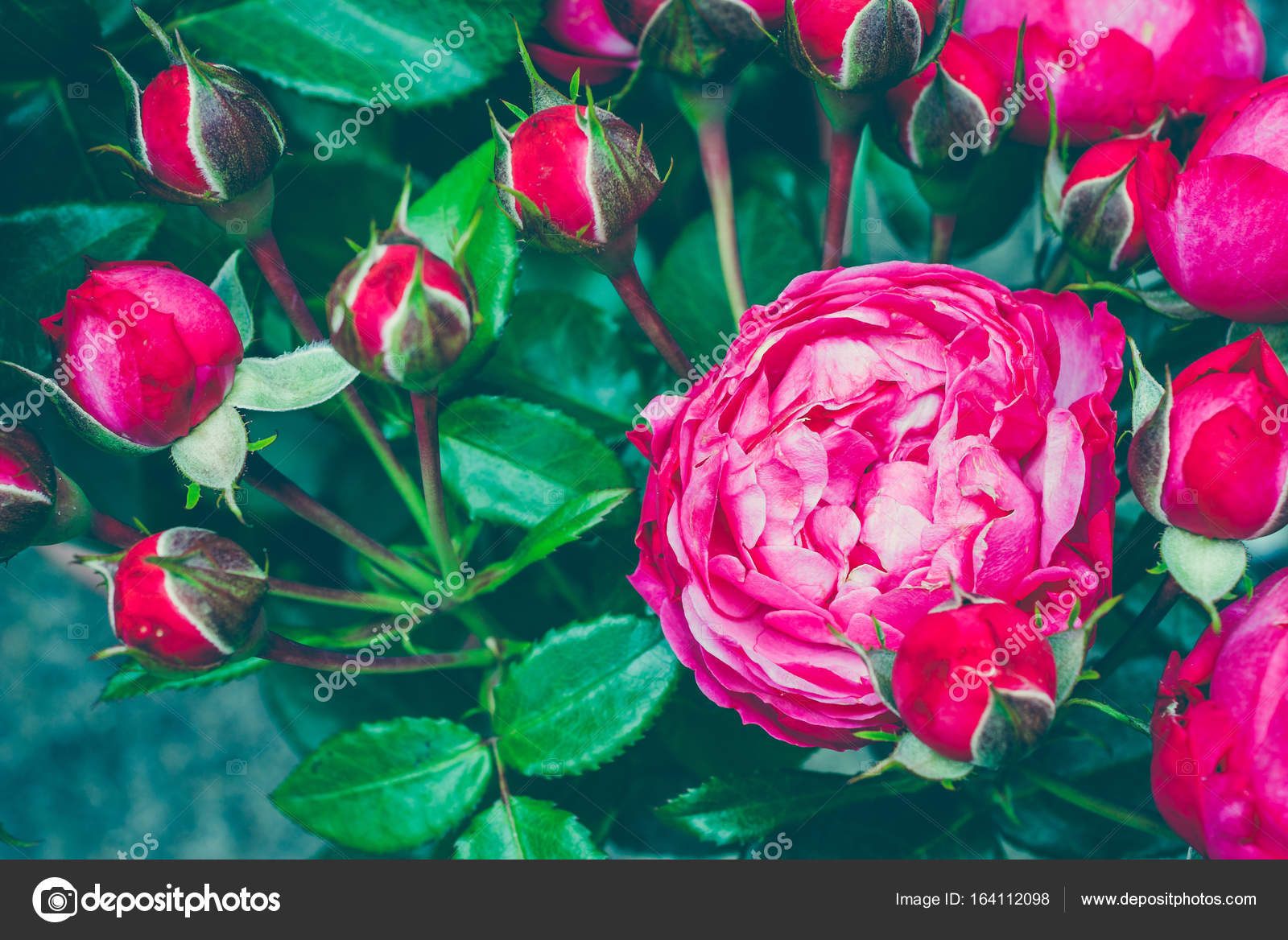 Natural Flower Soft Focus Copy Space Free Place For Text One Blossoming Red Rose Open Card Photo By Galeja