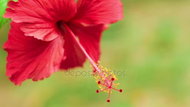 Úzká čelní pohled jediného červený ibišek květ lehce houpat ve větru