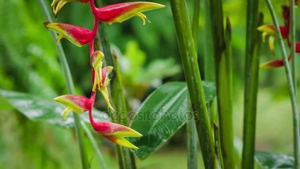 Detailní záběr Heliconia červené květiny v dešti dešťů. Svěží zelené rostliny listí po tropický déšť