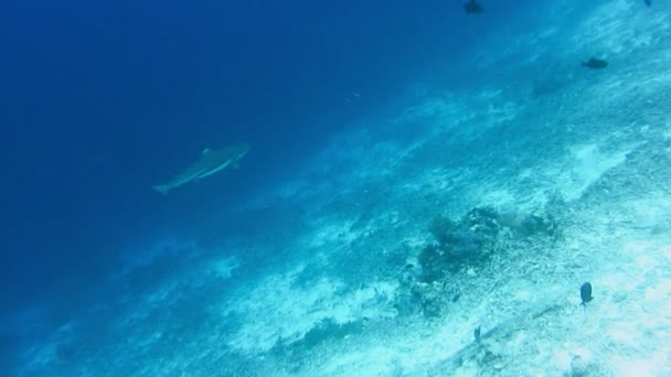 Blacktip reef shark hunting on bottom coral reef