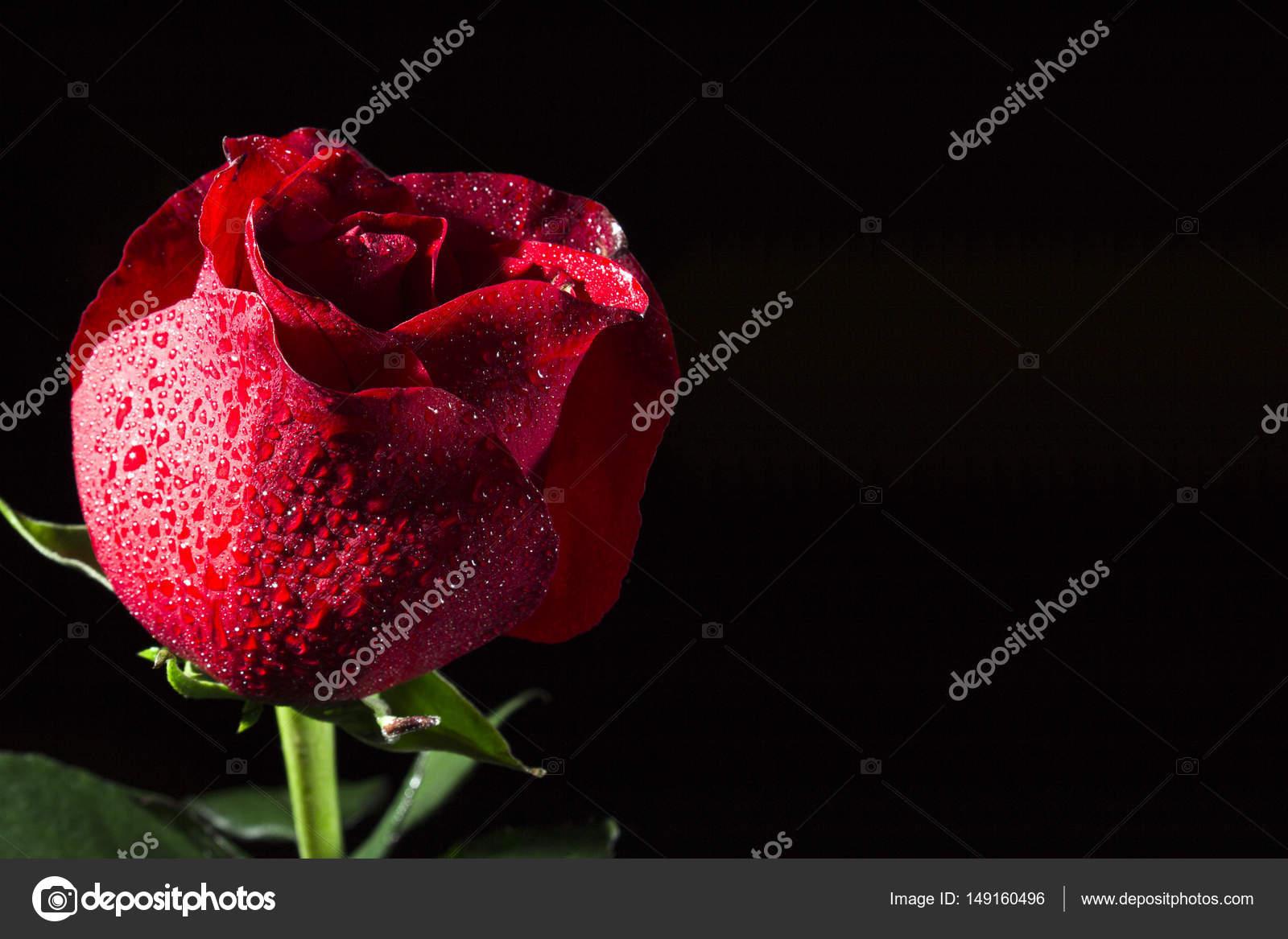 Fiore Di Una Rosa Rossa Su Una Priorità Bassa Nera Foto Stock